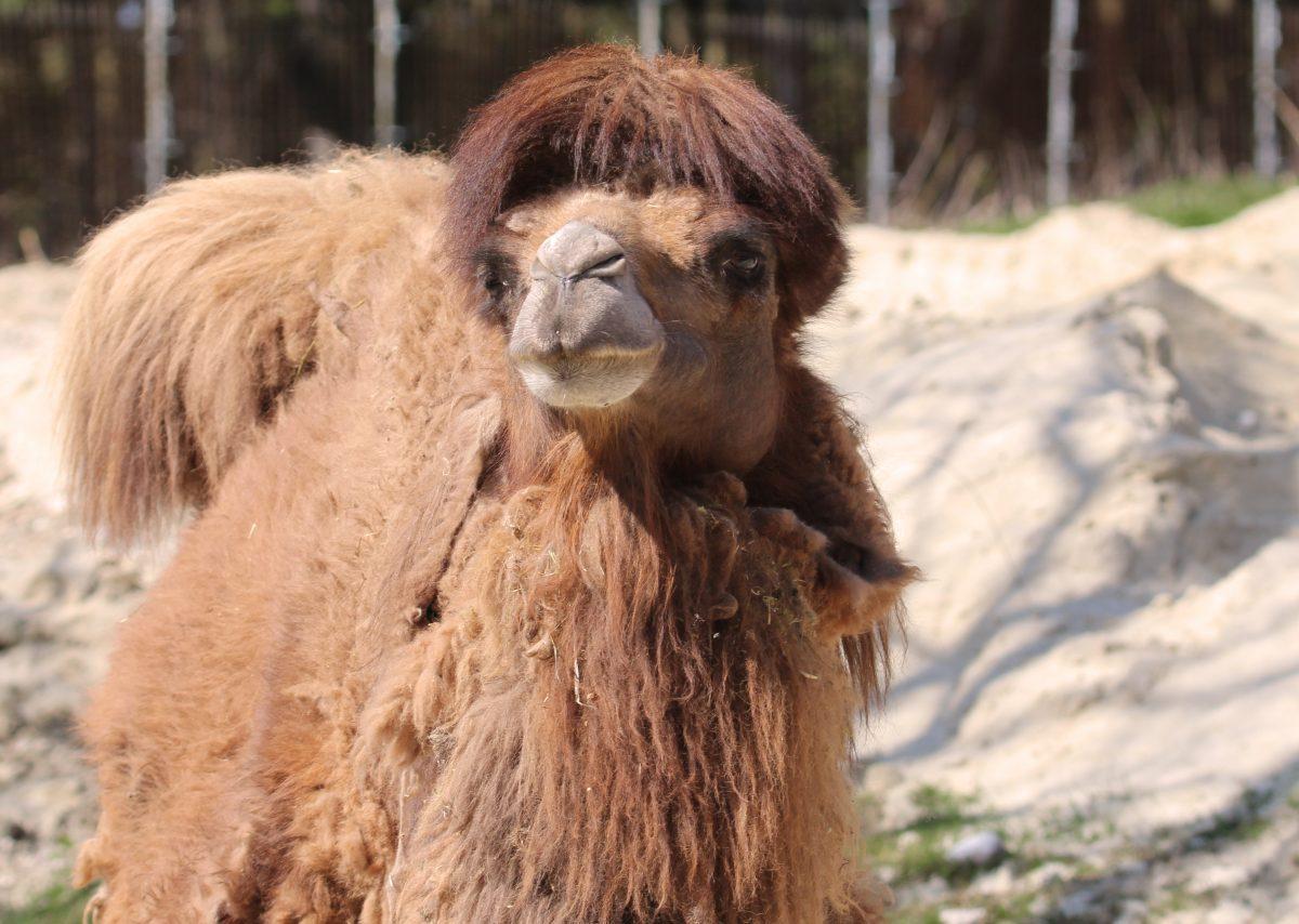 Foto Zoo Schmiding Kamel1 1200x854